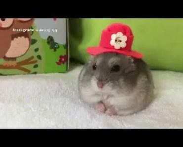 Hamster Dress Up | My Fair Lady | Funny & Cute Hamster Videos | wukong_qq - hamster dress up my fair lady funny cute hamster videos wukong qq