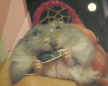 Hamster Harvest Moon - hamster harvest moon