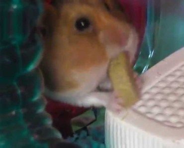 Hamster Stores so much food, he gets stuck in a tube! - hamster stores so much food he gets stuck in a tube