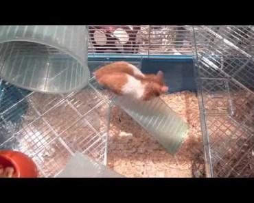 Harry the Hamster update!! - harry the hamster update