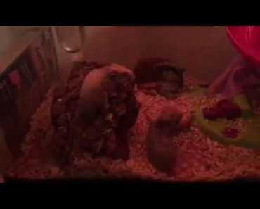 How to know when you hamster is sick - how to know when you hamster is sick