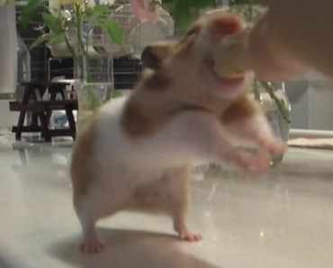 hungry cute funny golden hamster being fished - hungry cute funny golden hamster being fished