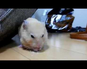 I gave the senior care supplement to old age funny hamster - i gave the senior care supplement to old age funny hamster