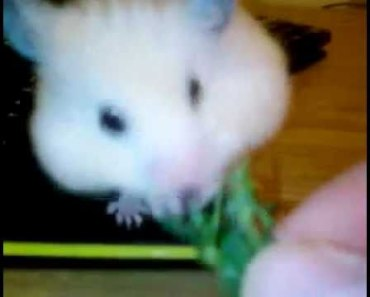 My funny hamster storing vegetables - my funny hamster storing vegetables