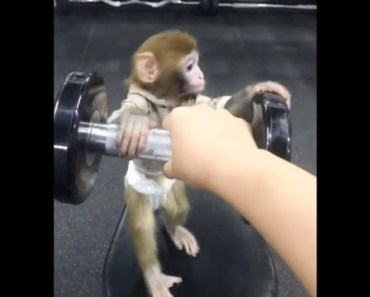 Pocket monkey, Can you raise it up? Top funny animal videos 2017 - pocket monkey can you raise it up top funny animal videos 2017