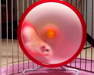 Roborovski hamster caught in wheel 17 times! - roborovski hamster caught in wheel 17 times