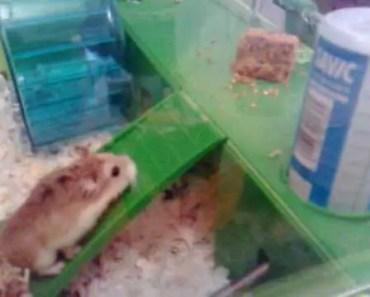 Roborovski Hamster slides down ladder funny :) - roborovski hamster slides down ladder funny