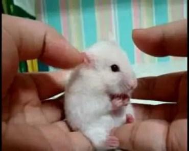 scared hamster - scared hamster