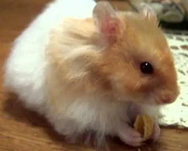 Teddy Bear Hamster Exploring - teddy bear hamster