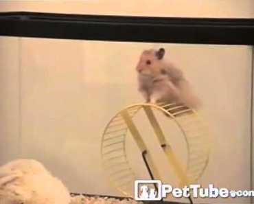 The Great Hamster Escape- PetTube - the great hamster escape pettube