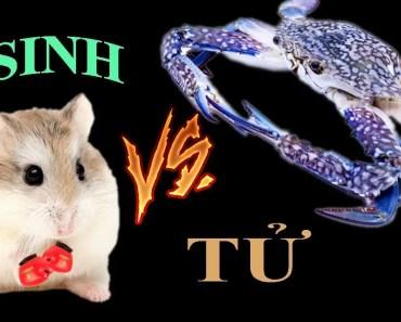 Tony TV | Trận chiến Của Hamster Và Cua Xanh (Ghẹ) | Hamster VS Crab - tony tv tran chien cua hamster va cua xanh ghe hamster vs crab