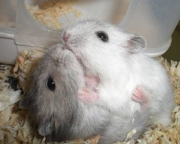 Two hamster kissing | Funny Hamster | Hamster Cute Pets | Pets - two hamster kissing funny hamster hamster cute pets pets