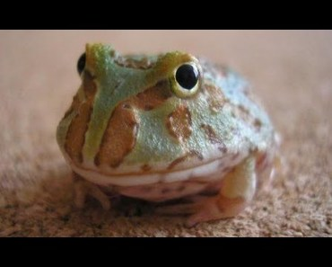 Ultimate CUTE and FUNNY Pet FROGS! - Best Toads and Frogs Videos Vines Compilation 2017 - ultimate cute and funny pet frogs best toads and frogs videos vines compilation 2017