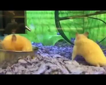 Un hamster en galère dans sa roue - un hamster en galere dans sa roue
