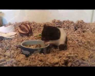 Zelda the greedy hamster -super speed and funny music- - zelda the greedy hamster super speed and funny music
