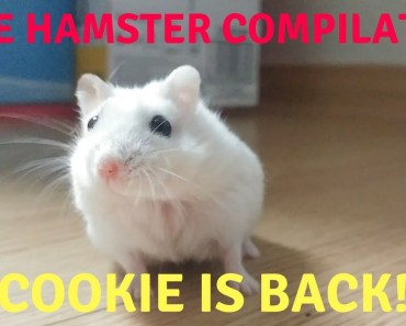 Cute Hamster Compilation & Funny Moments | Cookie is Back - cute hamster compilation funny moments cookie is back