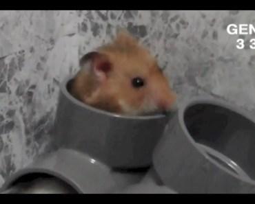 Drums hamster:Funny hamster - drums hamsterfunny hamster
