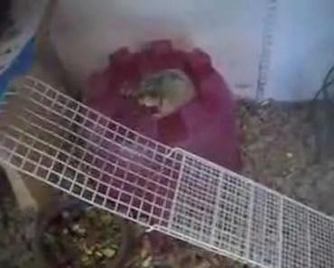 Dwarf Hamster - Funny Video - Part 1 - dwarf hamster funny video part 1
