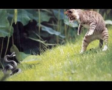 Fearless Cat vs Snake Videos Compilation - Brave and Amazing Animals - fearless cat vs snake videos compilation brave and amazing animals