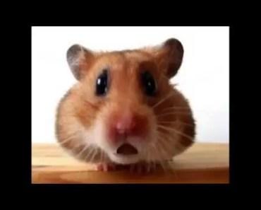 Funny Christmas Carols - Jingle Bells (Waddles the Hamster) - funny christmas carols jingle bells waddles the hamster