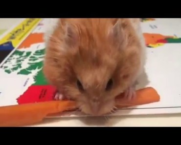 Funny Hamster Eating in Slow-Mo - funny hamster eating in slow mo