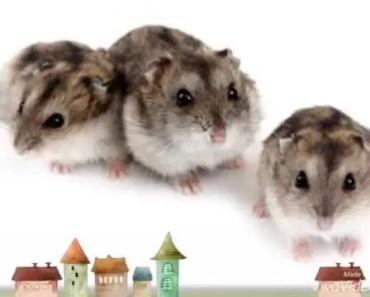 Funny Hamster - Những con Hamster thật ngộ nghĩnh - funny hamster nhung con hamster that ngo nghinh