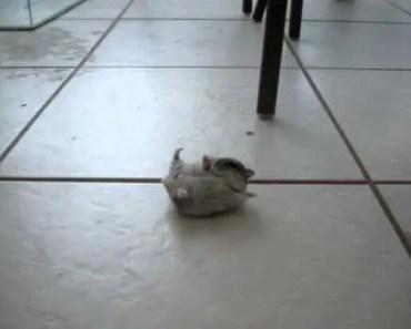 Funny pregnant hamster - funny pregnant hamster