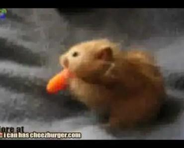Hamster eats a whole carrot @ Funny Animal Videos Funny Pet Videos, Funny Cat Videos, Cute Pets - hamster eats a whole carrot funny animal videos funny pet videos funny cat videos cute pets
