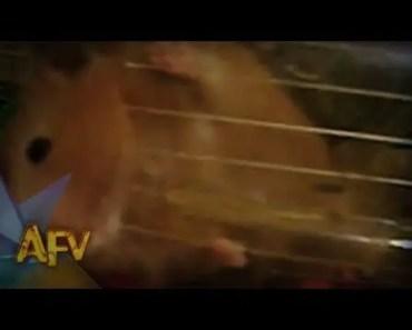 Hamster Escape | Animals | AFV - hamster escape animals afv