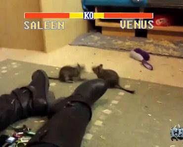 Hamster Fight - hamster fight