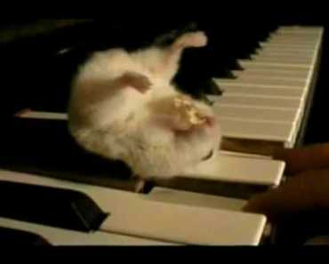 Hamster on a Piano (Eating Popcorn) Hyper Speed Very Funny!!!!!! - hamster on a piano eating popcorn hyper speed very funny