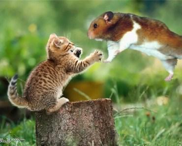 Hamster vs Cat | Funny Hamster | Hamster Cute Pets | Pets - hamster vs cat funny hamster hamster cute pets pets