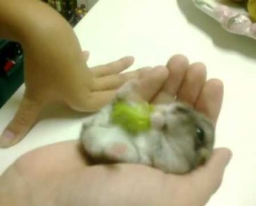 My funny hamster eating some salad - my funny hamster eating some salad