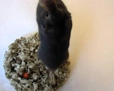 Screaming Hamster - screaming hamster