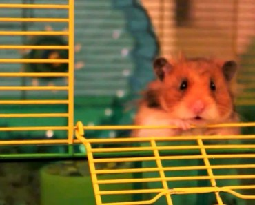 'To Be or Not to Be a Hamster' - The Talking Hamster - to be or not to be a hamster the talking hamster