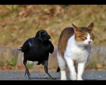 Top Funny Crow Videos Compilation 2017 [BEST OF] - top funny crow videos compilation 2017 best of