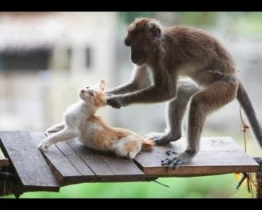 Top Funny Monkeys Annoying Cats Compilation 2017 - Monkey vs Cat [BEST OF] - top funny monkeys annoying cats compilation 2017 monkey vs cat best of