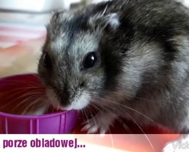 Funny Hamster 2 - 1513179187 funny hamster 2