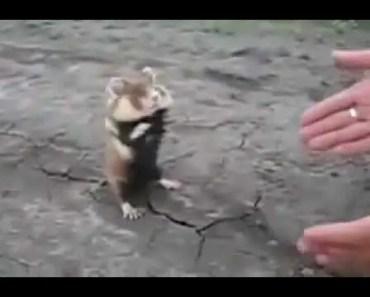 Angry Hamster - 1513215653 angry hamster