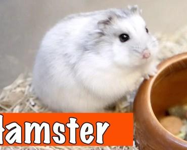 Alles over de hamster! | DierenpraatTV - alles over de hamster dierenpraattv