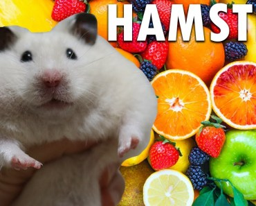 Best Funny Hamster Cute Compilation | Hamster Eating And Cute Everywhere | Colahamham - best funny hamster cute compilation hamster eating and cute everywhere colahamham
