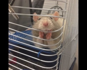 Collection of Funny Rat Hamster Drunk, (Kumpulan Tikus Lucu Hamster Mabuk) Part 1 - collection of funny rat hamster drunk kumpulan tikus lucu hamster mabuk part 1
