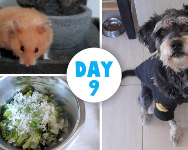 Cooking For My Dog | Free Range Hamster | Vlogstice 2017 - cooking for my dog free range hamster vlogstice 2017