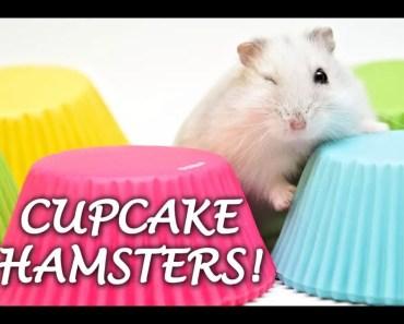 Cupcake Hamsters | We gaan Cupcake Hamsters foto's maken - cupcake hamsters we gaan cupcake hamsters fotos maken