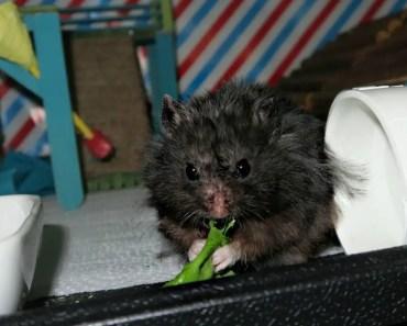 DIY Hamster Platform & Needy Pigs (VLOGMAS #17) - diy hamster platform needy pigs vlogmas 17