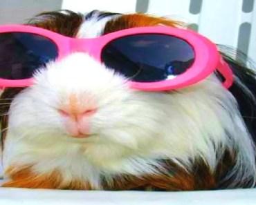 FUNNIEST GUINEA PIGS EVER - funniest guinea pigs ever