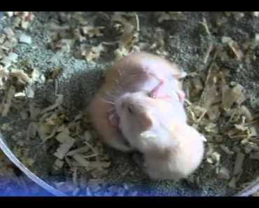 funny baby hamster fight - funny baby hamster fight