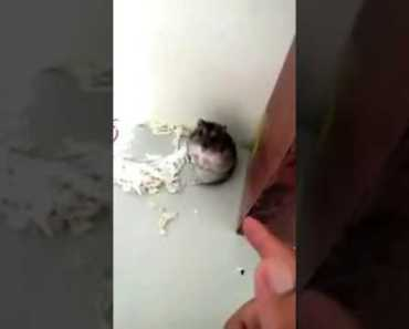 Funny hamster reaction after shoot:D - funny hamster reaction after shootd