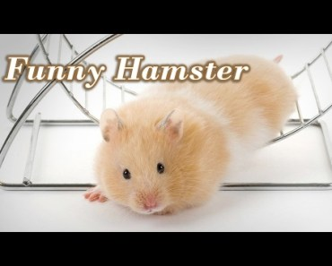 Funny Hamster : Top 10 Funny & Cute Hamster Compilation - funny hamster top 10 funny cute hamster compilation
