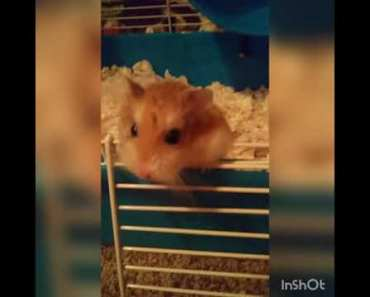 Funny hamsters fight over the wheel - funny hamsters fight over the wheel